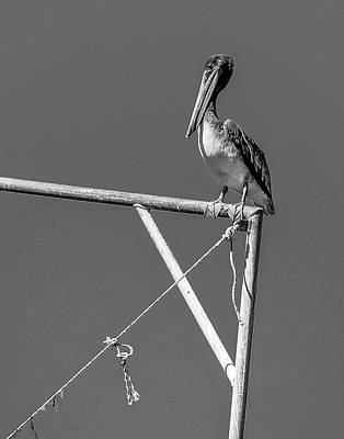 Photograph - Pelican In Black And White by Andy Crawford