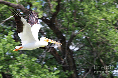 Photograph - Pelican In Flight by Alyce Taylor