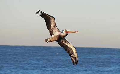 Photograph - Pelican In Flight  by Christy Pooschke