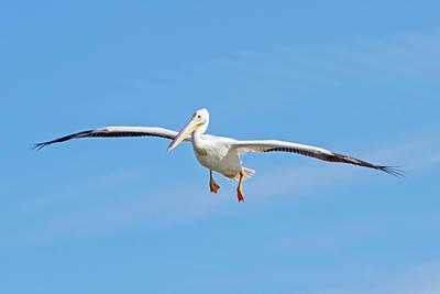 Beauty Mark Photograph - Pelican In Flight by Mark Andrew Thomas