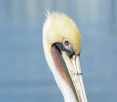Photograph - Pelican In Pastel by Fraida Gutovich