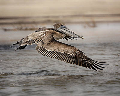 Photograph - Pelican In The Air by Charles McKelroy