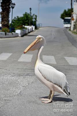 Pelican Photograph - Pelican In Tinos Town, Tinos Island, Greece by George Atsametakis