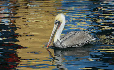 Photograph - Pelican In Watercolors by Fraida Gutovich