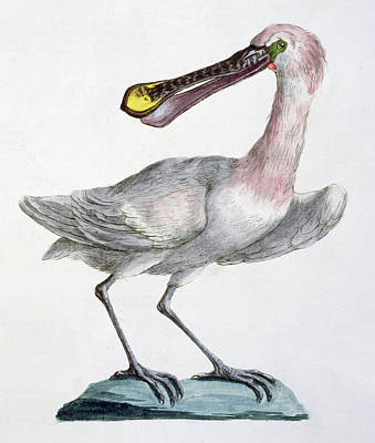 Pelican Drawing - Pelican by Italian School