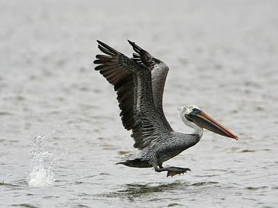 Photograph - Pelican Jump by Charles McKelroy