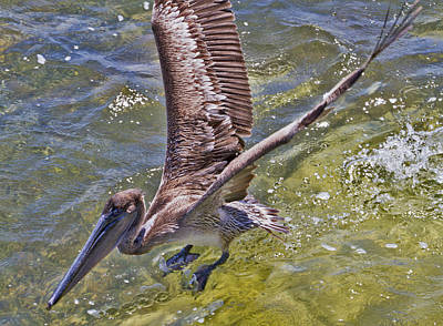 Photograph - Pelican Taking Off by Bob Slitzan