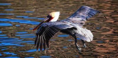 Photograph - Pelican Landing San Carlos Mexico by Bob Coates