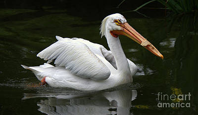 Photograph - Pelican by Lisa L Silva