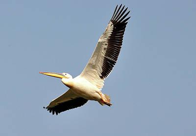 Photograph - Pelican  by Manjot Singh Sachdeva