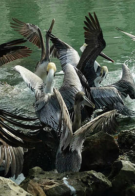 Photograph - Pelican Mosh Pit by Steve Sperry