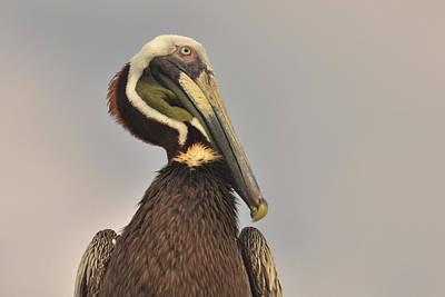 Photograph - Pelican  by Nancy Landry