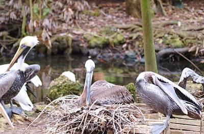 Photograph - Pelican Nest by Warren Thompson