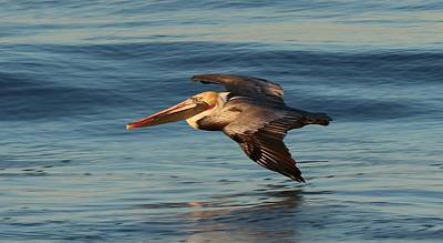 Photograph - Pelican On A Mission  by Christy Pooschke