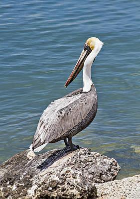 Photograph - Pelican On Rock by Bob Slitzan