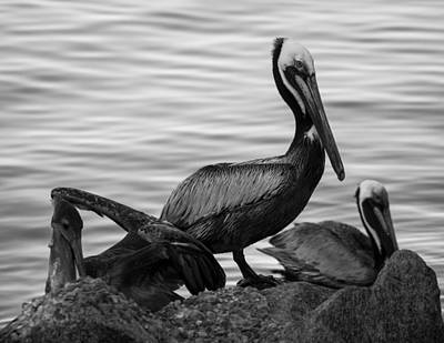 Photograph - Pelican On Rocks  by Debra Forand