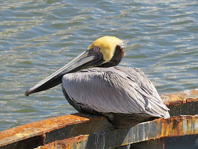 Photograph - Pelican On Rusty Boat by Ellen Meakin