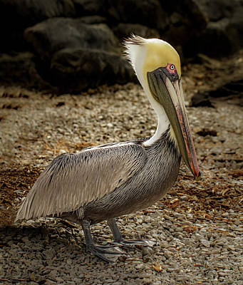 Photograph - Pelican On The Rocks by Jean Noren