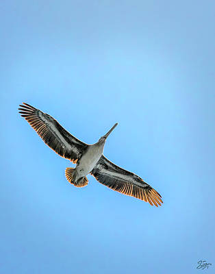 Photograph - Pelican Overhead by Endre Balogh
