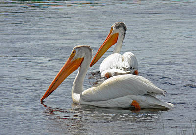 Lone Pelican Photograph - Pelican Pair At Owens River Eastern Sierra Photo by Kim Hawkins Eastern Sierra Gallery