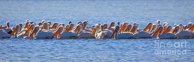 Photograph - Pelican Panorama by Mitch Shindelbower