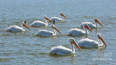 Photograph - Pelican Pod by Carol Groenen