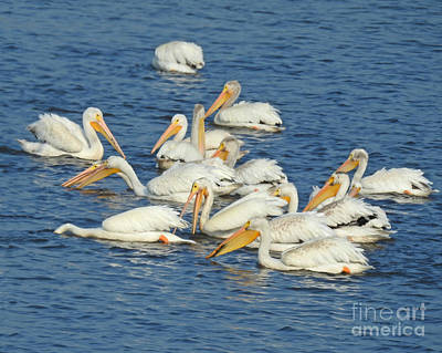 Photograph - Pelican Pod by Kathy M Krause