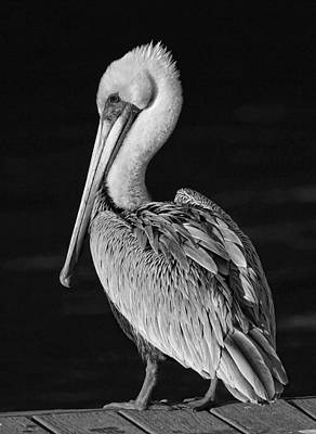 Photograph - Pelican Portrait - Black And White by HH Photography of Florida