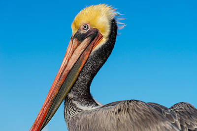 Photograph - Pelican Portrait by Derek Dean