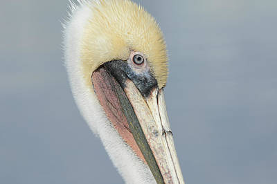 Photograph - Pelican Portrait by Fraida Gutovich