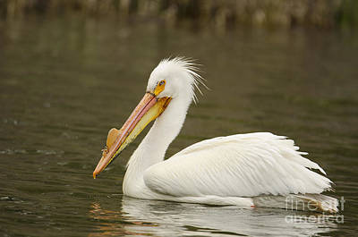 Photograph - Pelican Portrait by Kelly Black