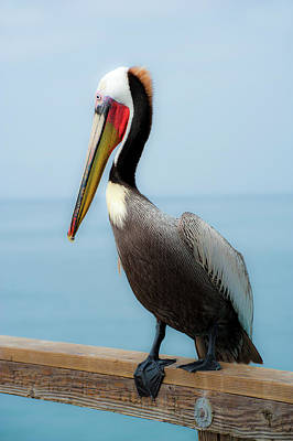 Photograph - Pelican Portrait by Windy Osborn