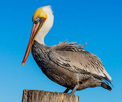 Photograph - Pelican Pose by Derek Dean