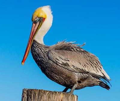 Photograph - Pelican Pose by Derek Dean