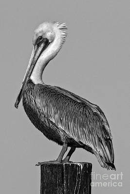 Photograph - Pelican Pose by Moore Northwest Images