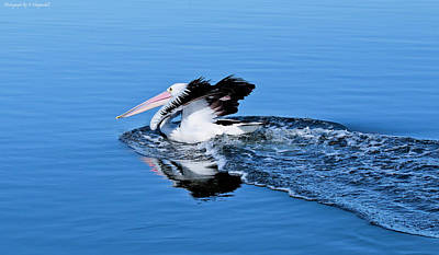 Digital Art - Pelican Power 0012 by Kevin Chippindall