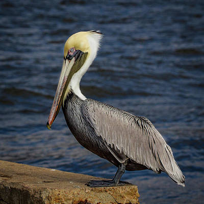 Pelican Profile 2 Art Print by Jean Noren