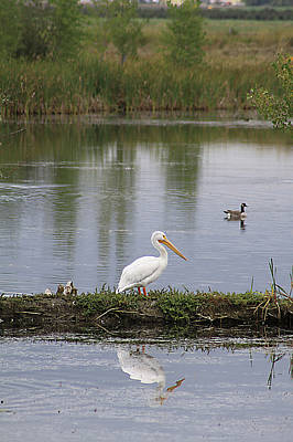 Photograph - Pelican Reflection by Alyce Taylor