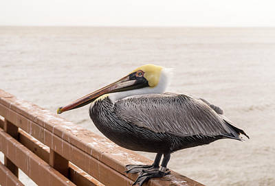 Photograph - Pelican Resting After Lunch by Douglas Barnett