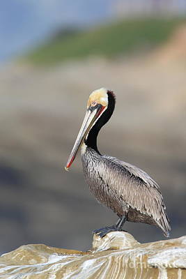 Photograph - Pelican Resting by Bryan Keil