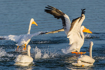 Outerspace Patenets Rights Managed Images - Pelican Rowdiness Royalty-Free Image by Marc Crumpler