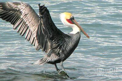 Photograph - Pelican Showoff by Frank Townsley