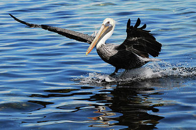 Pelican Smooth Landing Art Print by Roger and Michele Hodgson