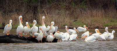 Photograph - Pelican Social by Susan Rissi Tregoning