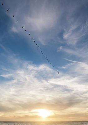 Photograph - Pelican Sunset by Alex Lapidus