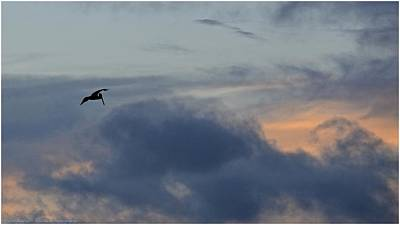 Photograph - Pelican Sunset by Carol  Bradley