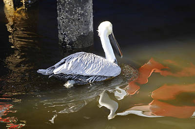 Photograph - Pelican Swim by Jody Lovejoy
