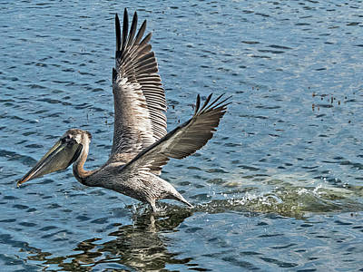 Photograph - Pelican Take-off by Bob Slitzan