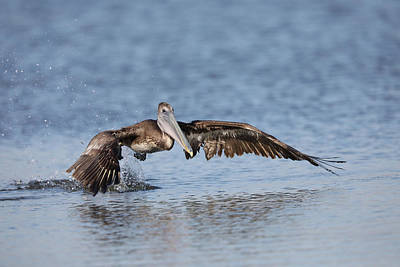 Photograph - Pelican Takeoff by Jack Nevitt