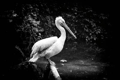 Photograph - Pelican by Traven Milovich